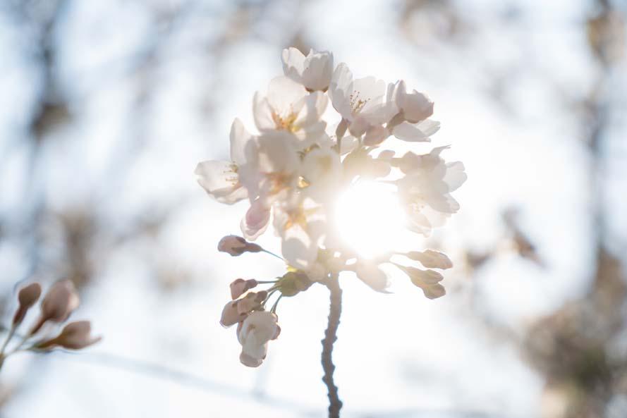 풍경 (벚꽃으로 가득 찬 수련원) / 2020.4.2